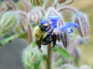 bee_on_borage-pollinator