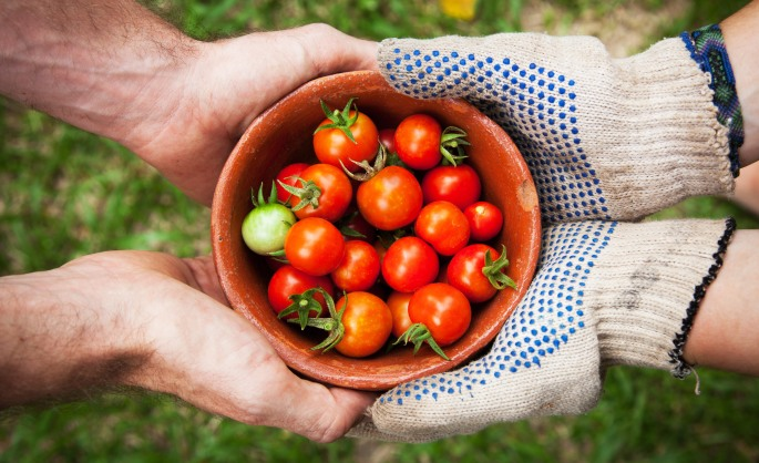farm the world, tomatoes, cherry tomatoes, tomatoes, home-grown tomatoes, home-grown vegetables, heirloom tomatoes