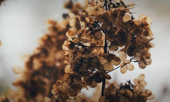 dead-hydrangea
