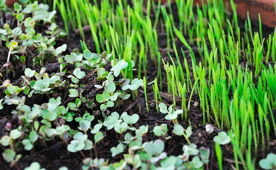 Sprouted microgreens