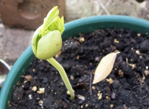 Bean-sprouting