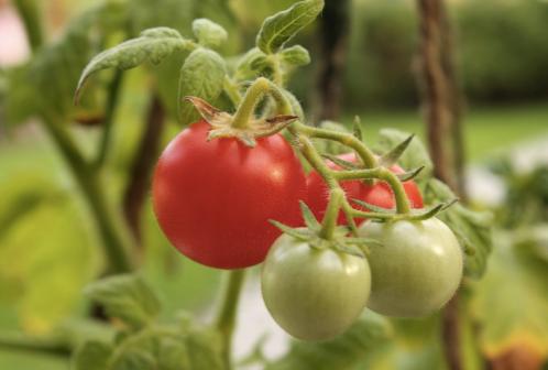 Cherry-tomato-plant