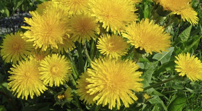 dandelion, dandelions, edible dandelions, foraged edibles, foraged food, wild foods