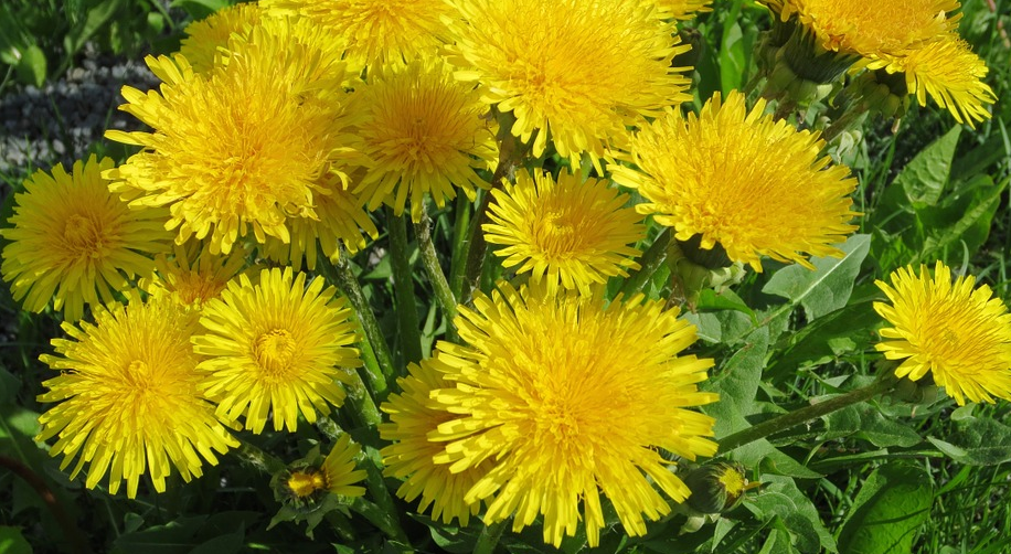 dandelion, dandelions, edible dandelions, foraged edibles, foraged food, wild foods