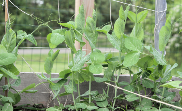 growing peas, how to grow peas, pea trellis, climbing peas, sweet peas, how to grow climbing peas, how to support peas, pea support, pea trellis, peas