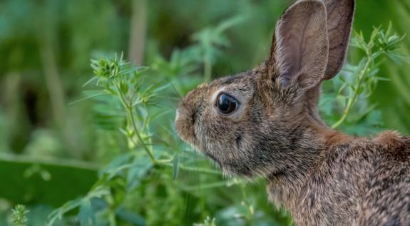 rabbit, wild rabbit, rabbit in the garden, rabbit eating plants, bunny, garden bunny