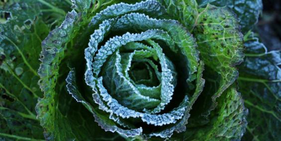 cabbage, green cabbage, savoy cabbage, brassica, brassicas