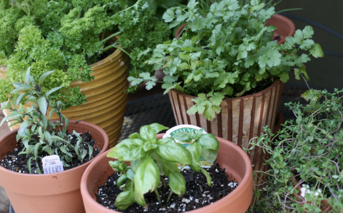 potted herbs, culinary herbs, basil, thyme, parsley, cilantro, savory, cooking herbs, pot herbs, potted herbs, kitchen herbs