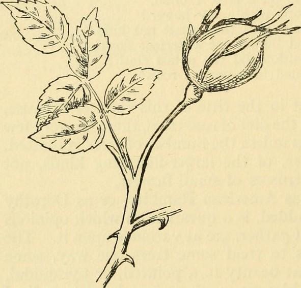 rosecane.jpg