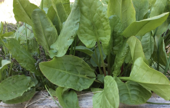 sorrel, garden sorrel, French sorrel, lemon sorrel, perennial vegetable, perennial sorrel