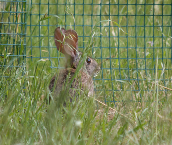 rabbit, wild rabbit, rabbit in the garden, rabbits, bunny, bunnies