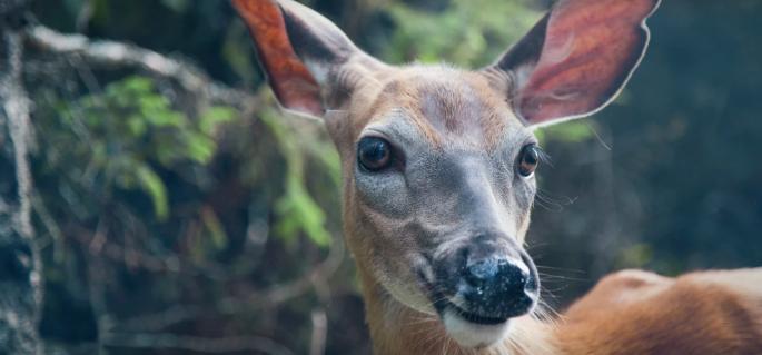 deer, garden deer, deer in the garden, forest deer, white-tailed deer, deer garden, Quebec deer