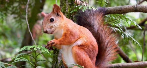 red squirrel, squirrel, Quebec squirrel, squirrel in the garden, squirrels