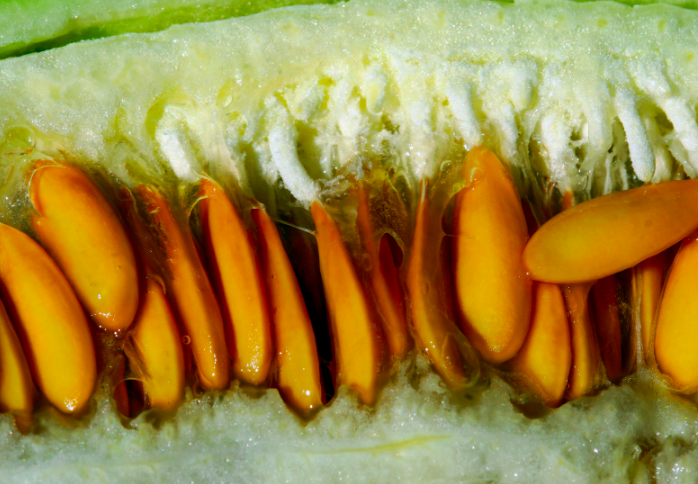 melon seeds, saving melon seeds, how to save melon seeds, cucumber seeds, saving cucumber seeds