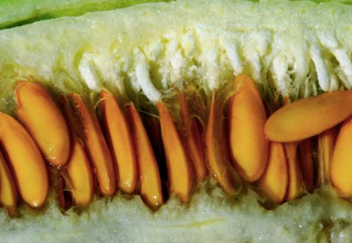 melon seeds, saving melon seeds, how to save melon seeds, cucumber seeds, saving cucumber seeds