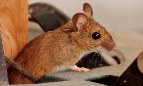 Field-Mouse