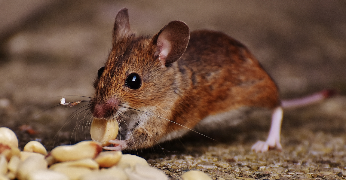 Mice Will Play: Lessons in Seed Storing