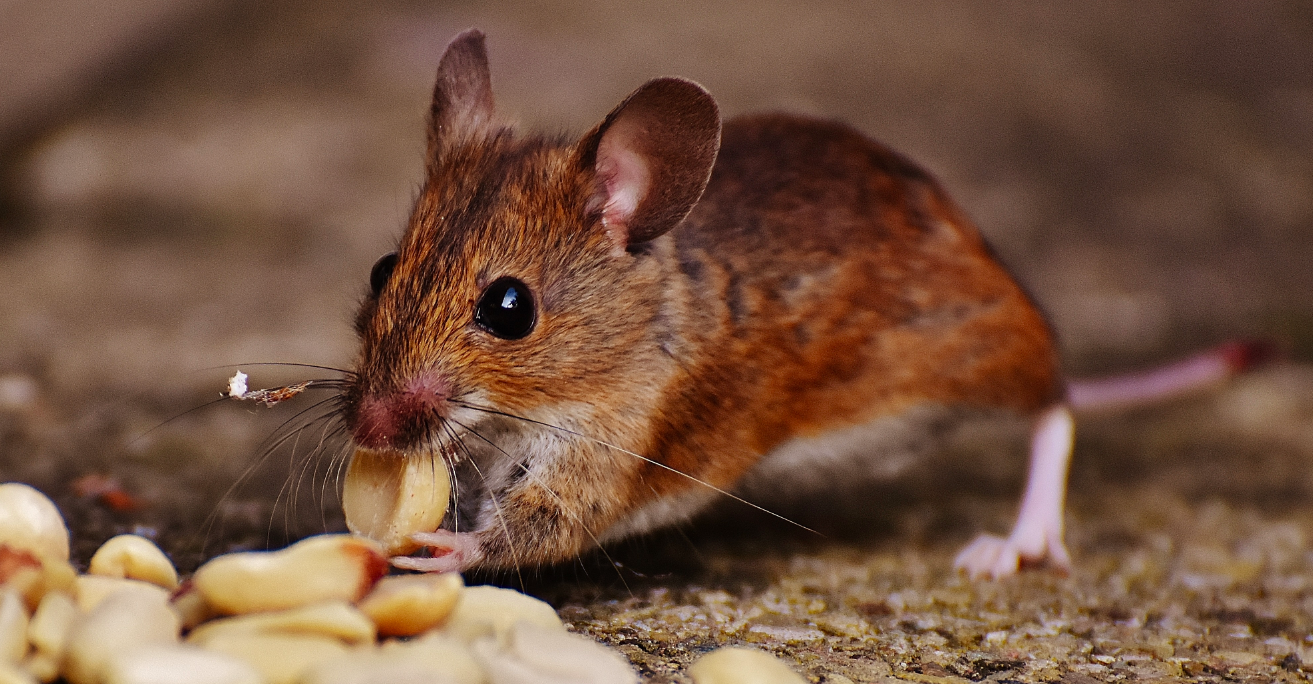 mouse, field mouse, house mouse, mouse in the house, mouse eating, mouse eating seeds