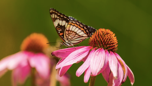 echinacea, wildflowers, native wildflowers, butterflies, bees, pollinators