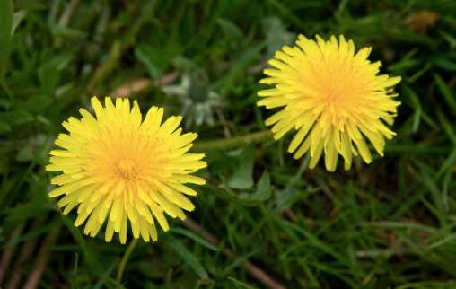 dandelion, dandelions, edible dandelions, dandelions for rabbit food, degu food, chinchilla food, guinea pig food