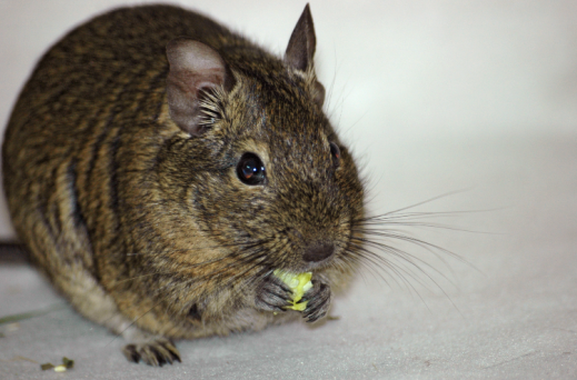 degu, pet degu, food for degus, plants to feed degus, gardening for degus