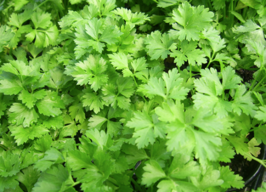 parsley, flat-leaf parsley, herbs, herbs for pets, parsley for pets, herbs for pet rabbits, herbs for pet degus, herbs for chinchillas, grow your own pet food