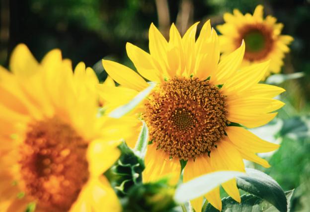 sunflower, sunflowers, edible sunflowers, edible flowers, rabbit food, bunny food, chinchilla food, degu food