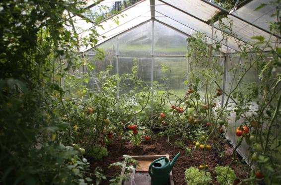 compost tea, compost, fertiliser, greenhouse, greenhouse plants, greenhouse tomatoes, compost on greenhouse plants