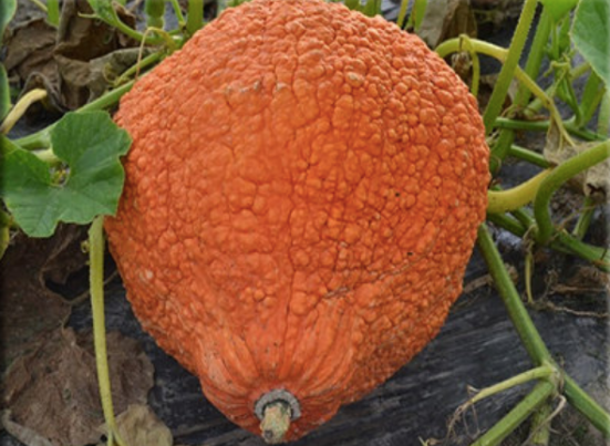 red warty thing squash