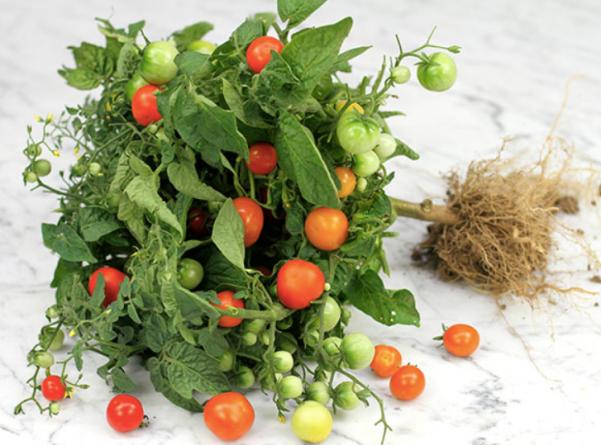 mini tomatoes, minibel tomatoes