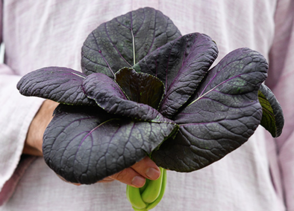 black bok choy, purple bok choy, purple lady bok choy