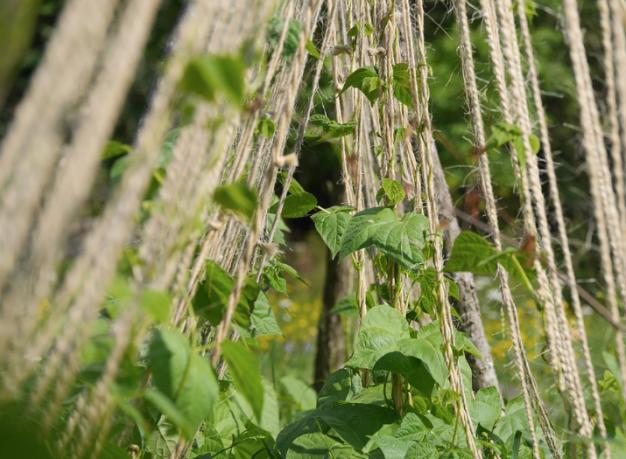 Garden twine for climbing peas