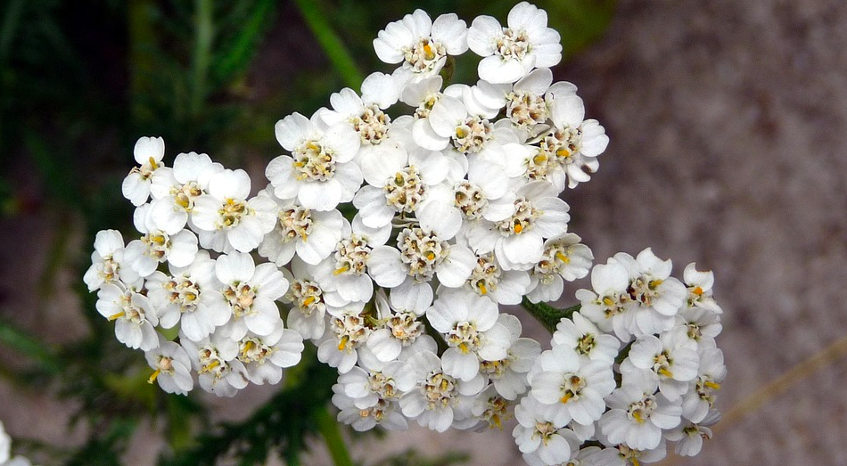 Reasons to grow yarrow