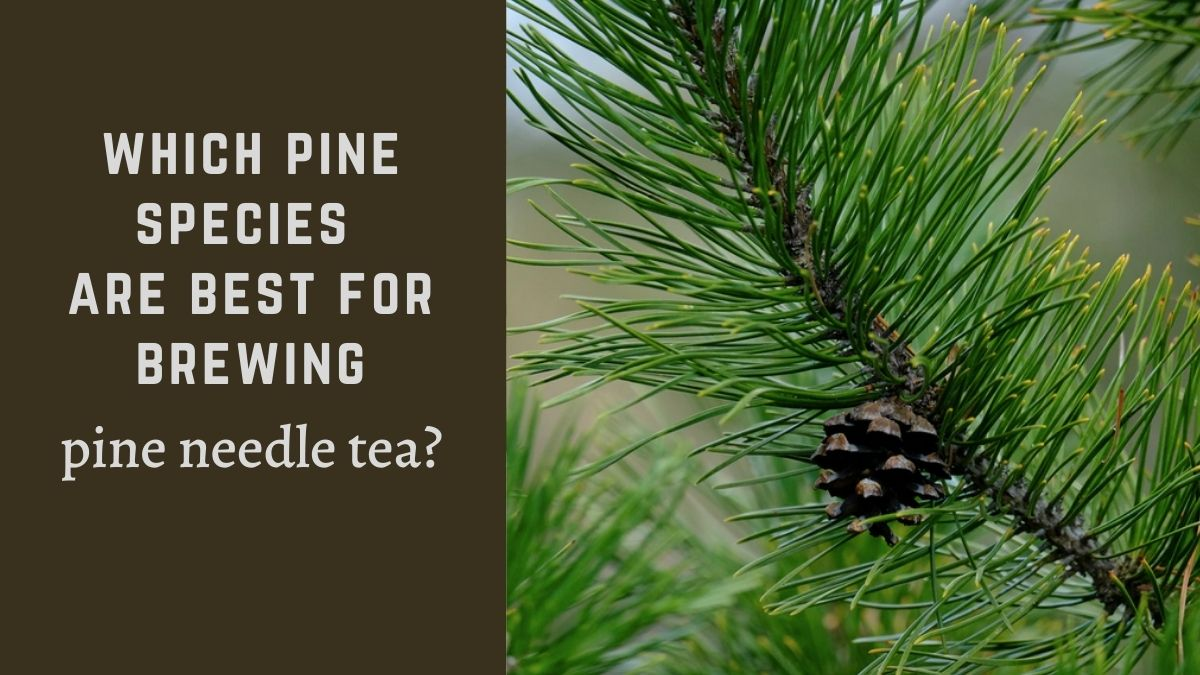 Which Pine Species are Best for Pine Needle Tea